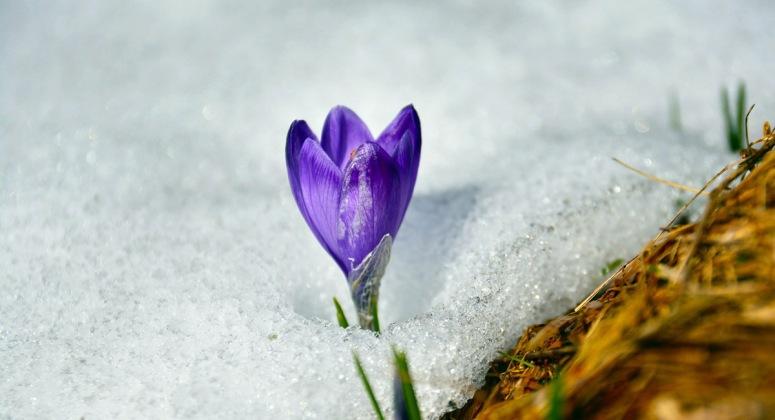 snowcrocus_crop