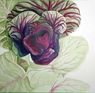 Work in progress of a watercolour painting of a red cabbage.